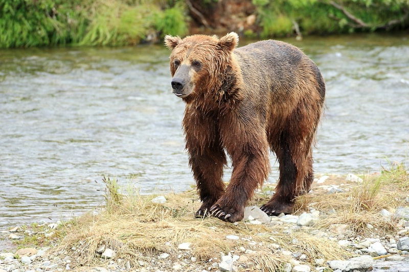 163j0572-homer-katmai np bears