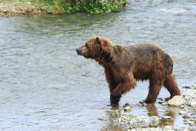 163j0609-homer-katmai np bears