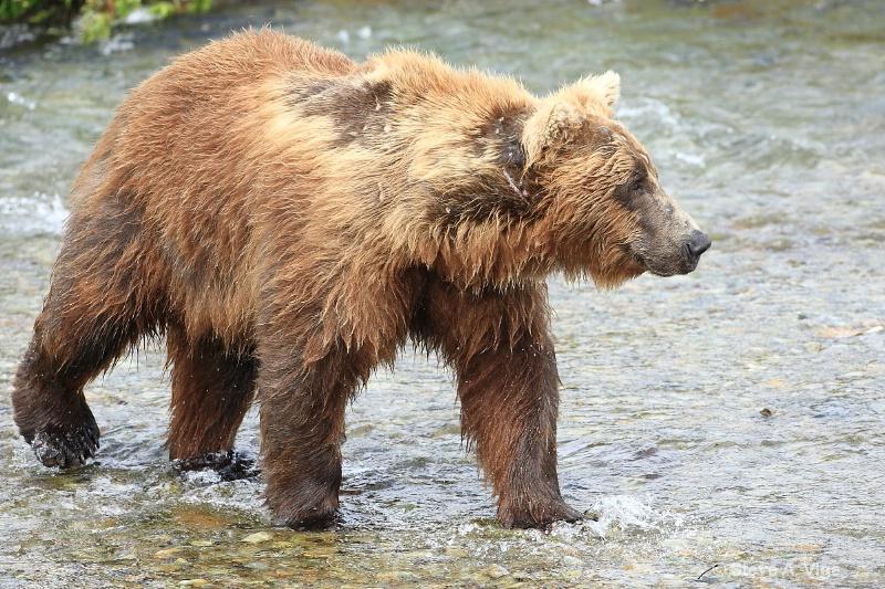 163j0636-homer-katmai np bears
