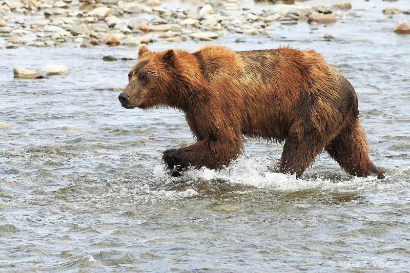 163j0652-homer-katmai np bears