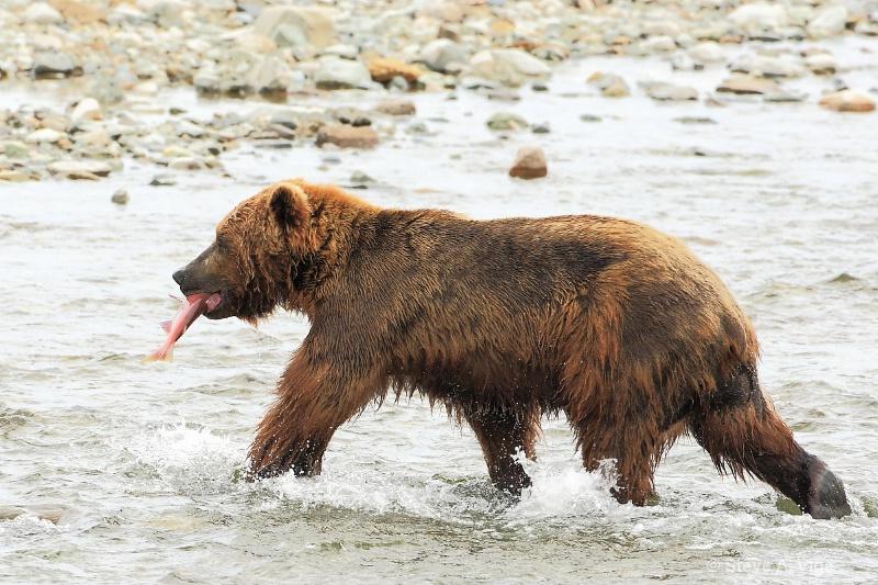 163j0699-homer-katmai np bears