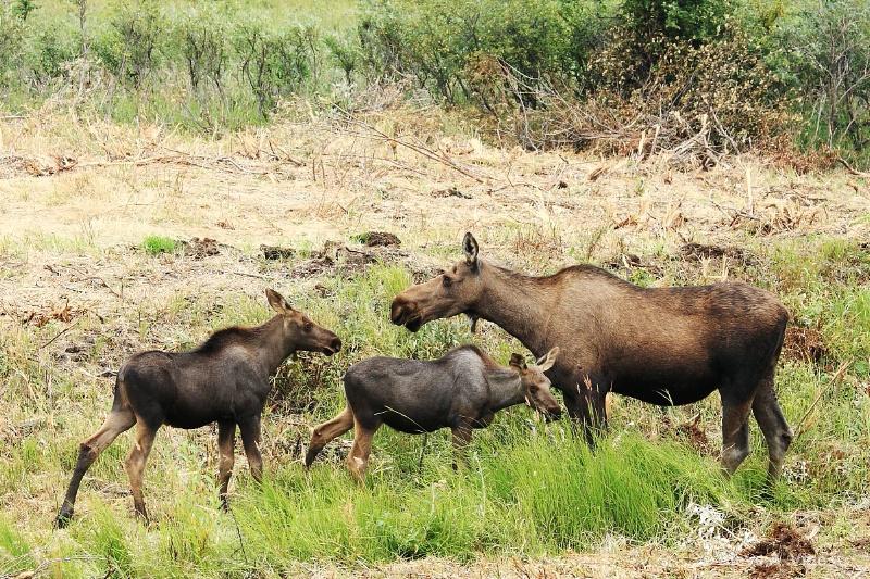 163j1066-moose-female-10-ss