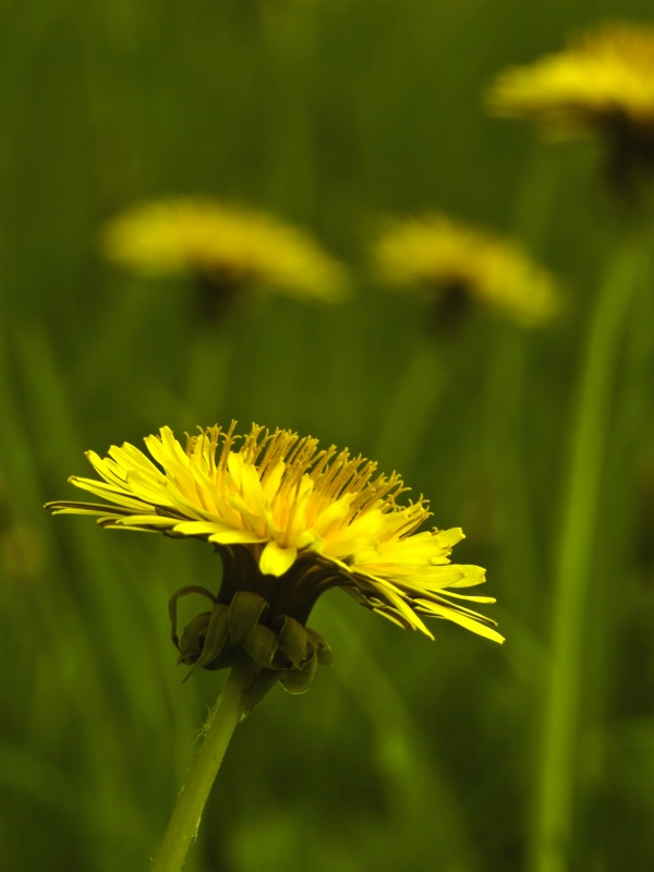 Spring-Dandelion