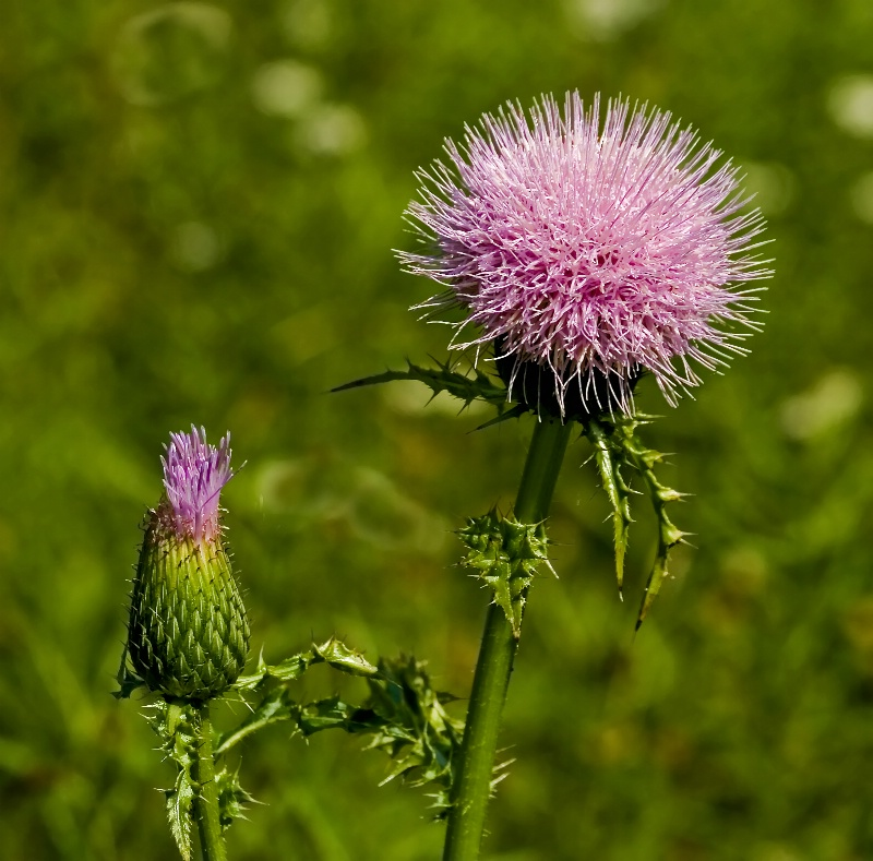 Spring-Common Thistle