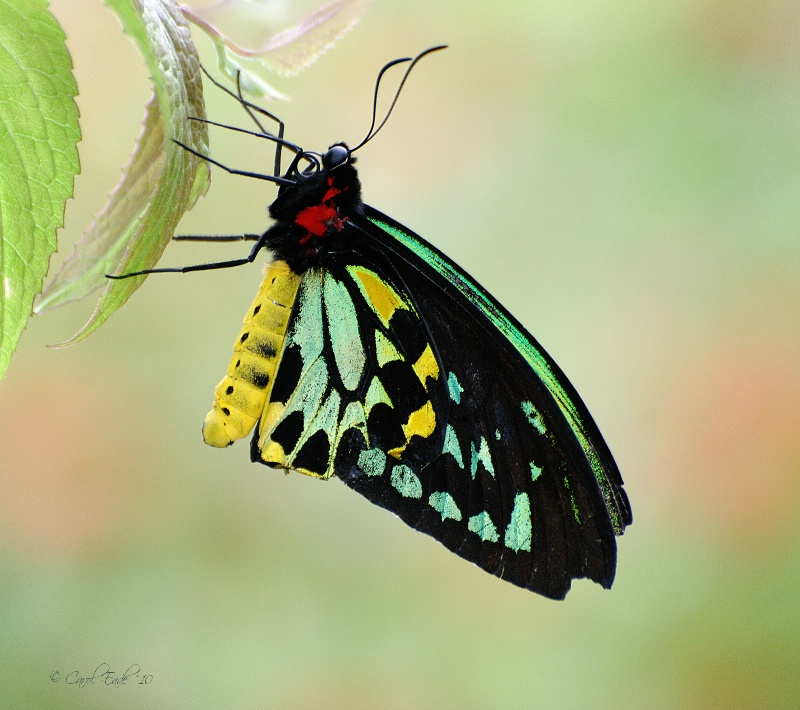 Beautiful Birdwing
