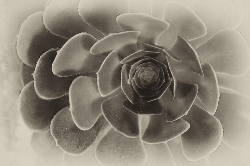 Antique Succulent