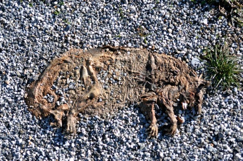 Sun dried road kill s537