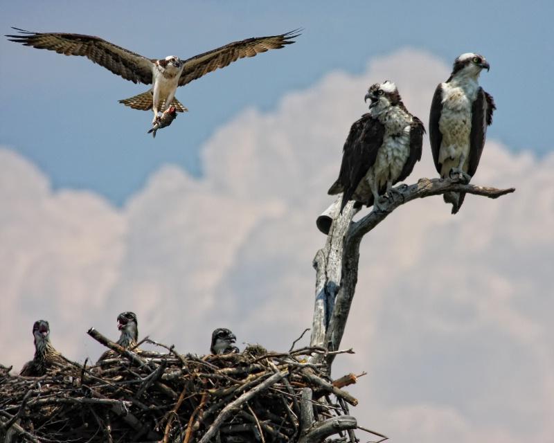 Osprey Family