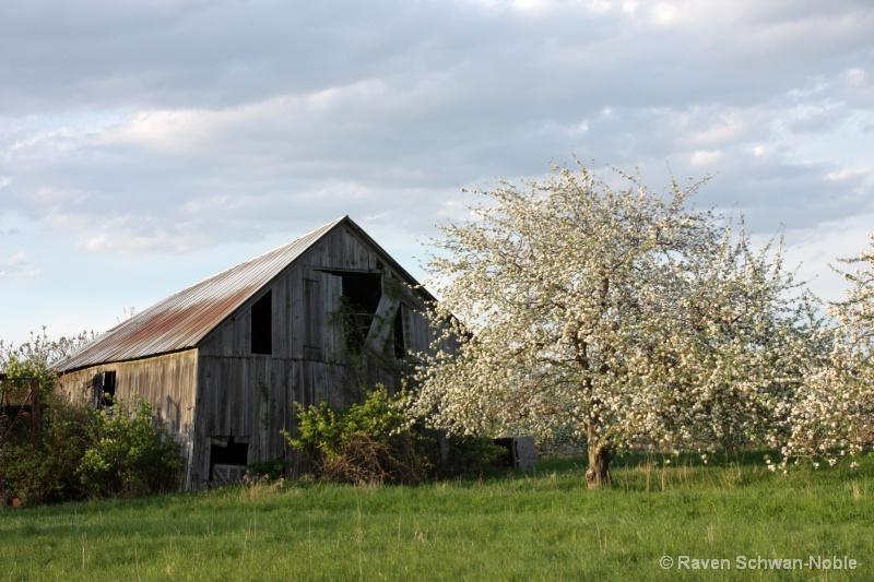 Apple Blossom Time-  Allenholm Farm So. Hero