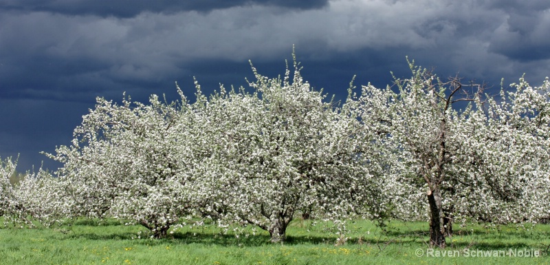 Apple Blossom Storm