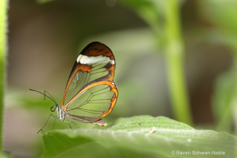 Glasswing
