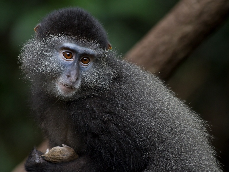 Blue Monkey with Mouse