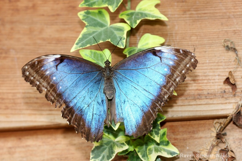 BlueMorphos