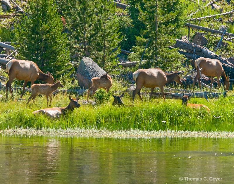 Madison River Elk