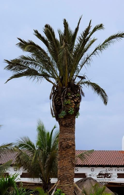 """""""Tall Tree"""""""