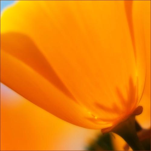 Costal Poppy
