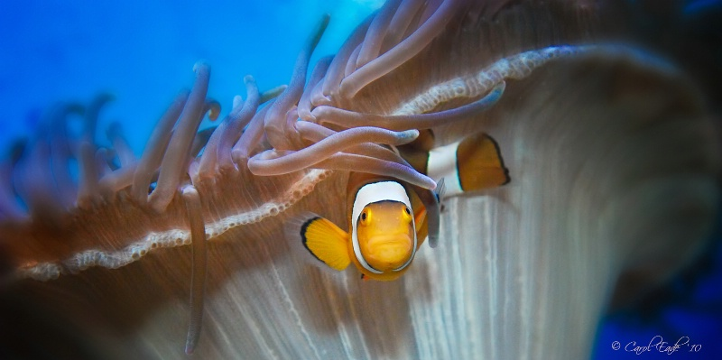 Anemone Clownfish