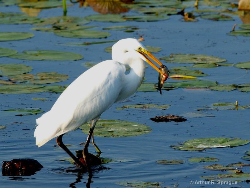 Egret (White Heron)