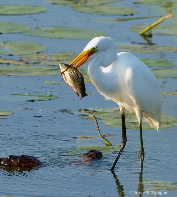 Egret ( White Heron)