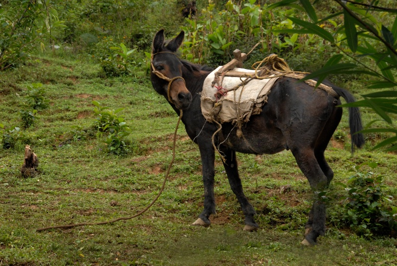 Pack Mule with Wooden Saddle