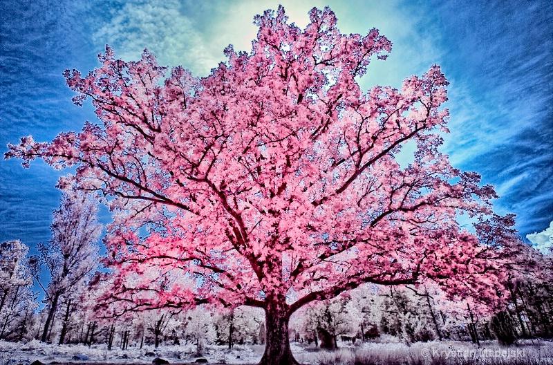Blossoming oak