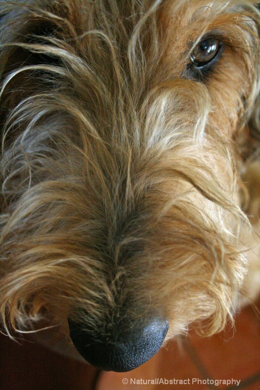 Eye Of The Airedale