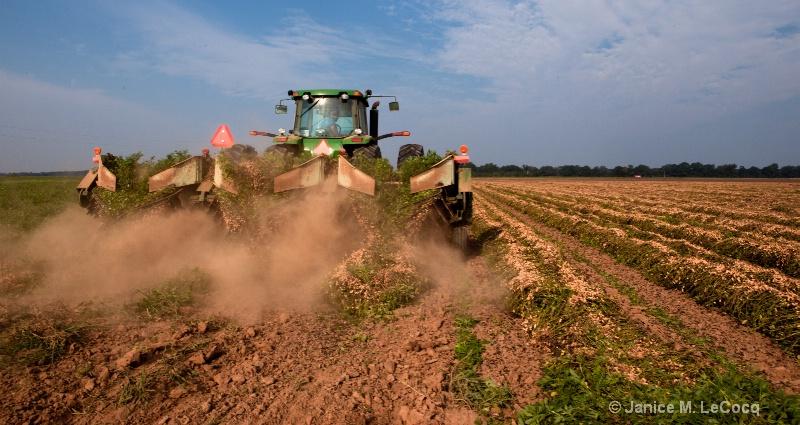 Peanut Harvest 1
