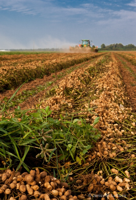 Peanut Harvest 2