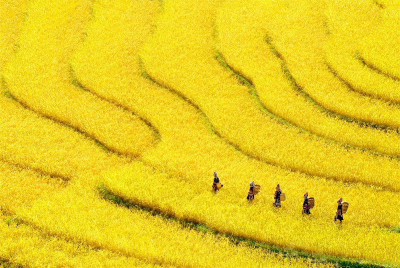 Yellow farm