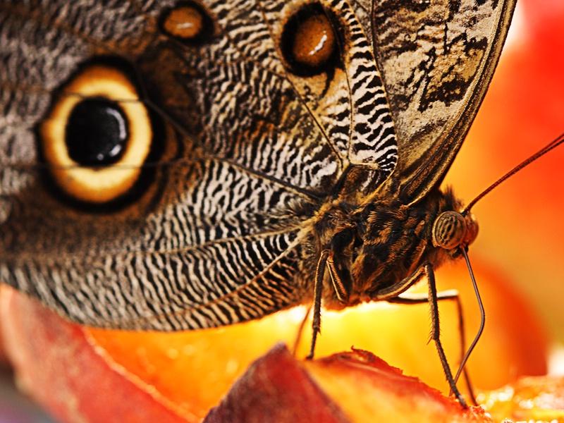 Peach Nectar II