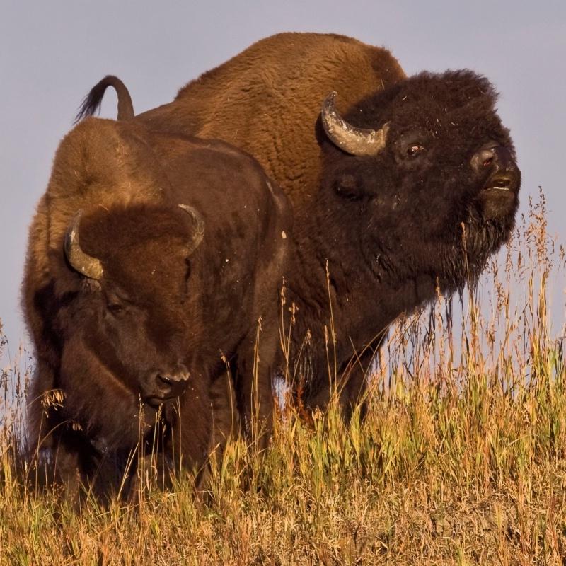 Bison Romance