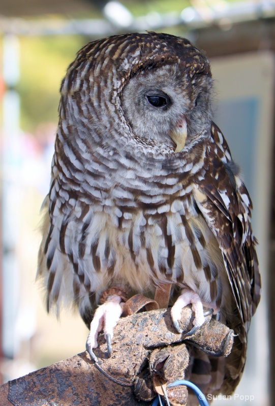 Barred Owl full