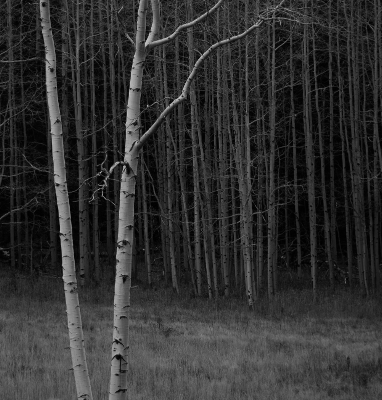 Late Fall Aspen Grove