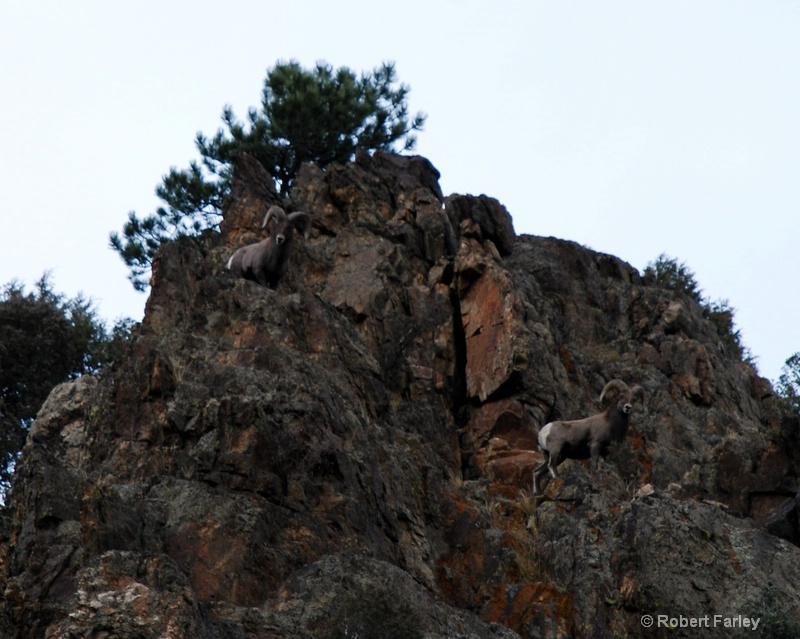 Two Rams lookin