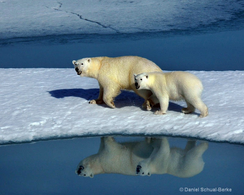 Ice Bears: Mother and Cub
