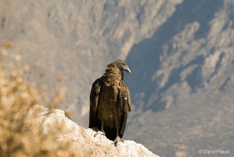 Juvenile Peruvian Condor ~ Colca Canyon