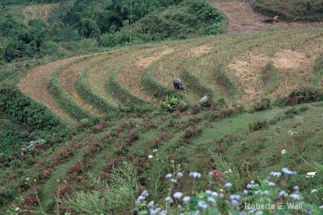 more rice paddies