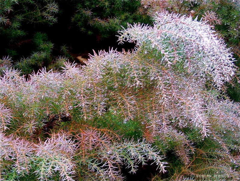 Pink-Tinged Shrubbery
