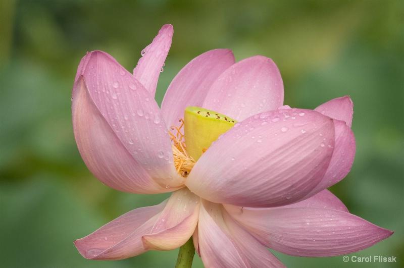 Tears on a Lotus