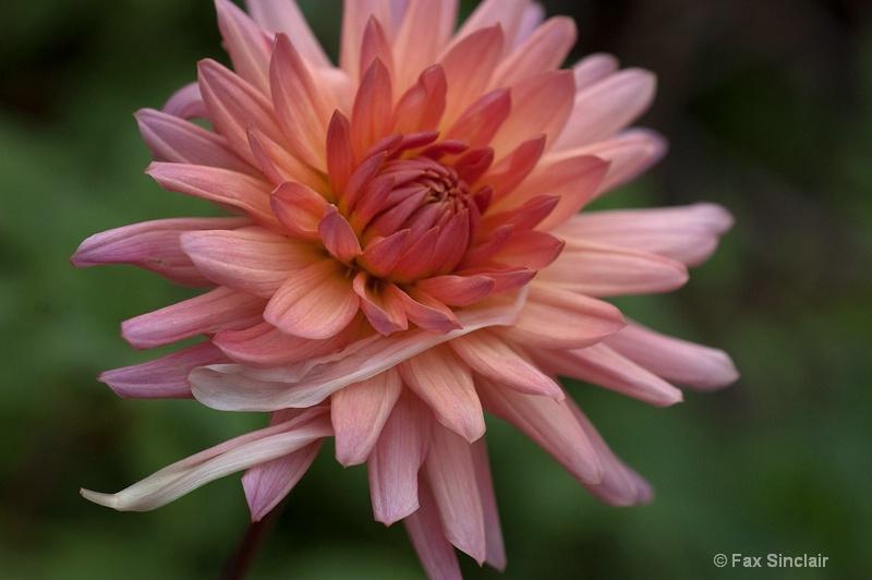 Stray Petals 1
