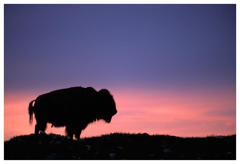 Bison at sunset, SW Saskatchewan