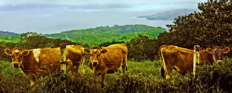 Calves Over Arenal