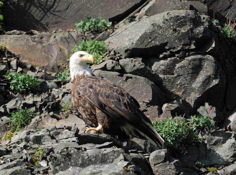 Bootleg Eagle