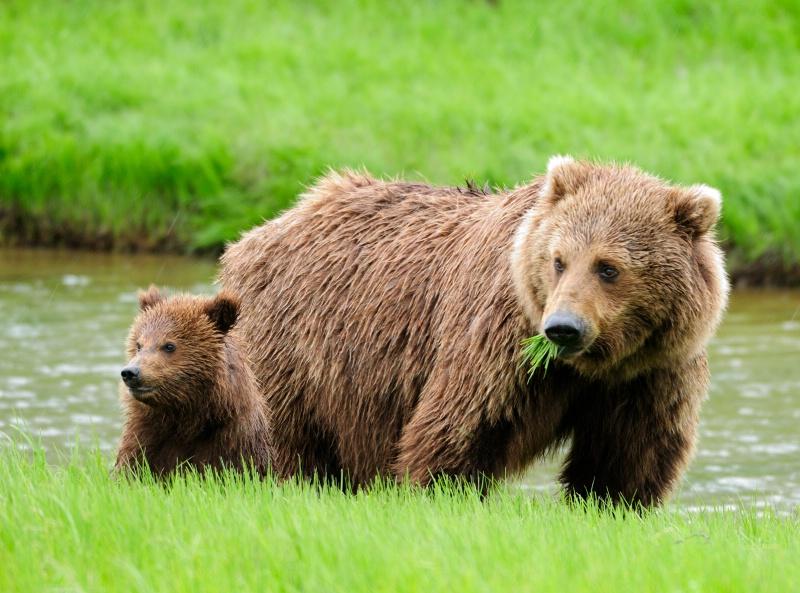 Sow/cub 1