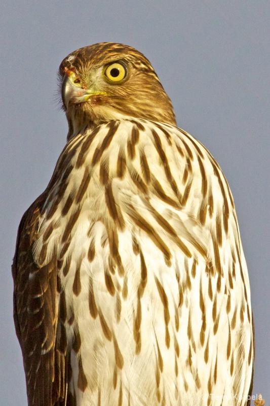Red Shouldered Hawk Infant