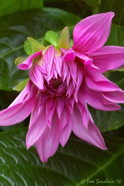 Dancing Fleur
