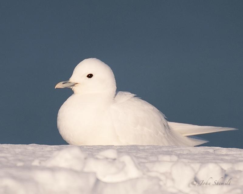 Ivory Gull - Plymouth, Mass - Jan 29th, 2009