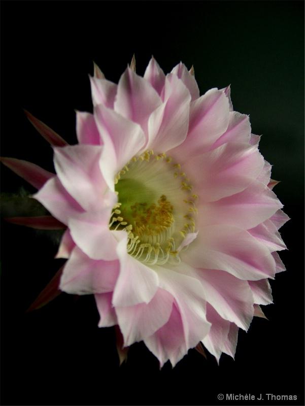 Cactus Flower!