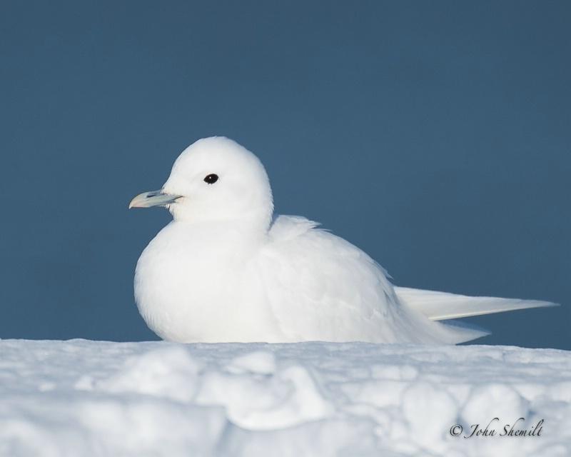 Ivory Gull 2