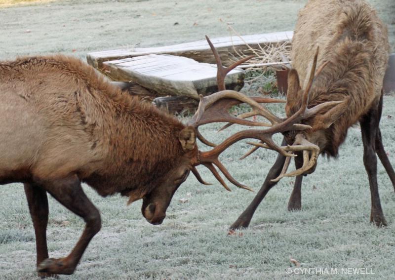 Dueling Antlers